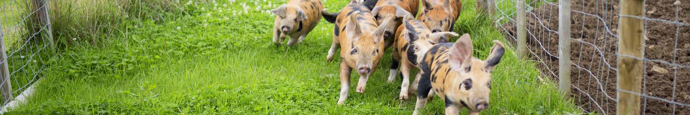 Pig racing at Vurlands Farm